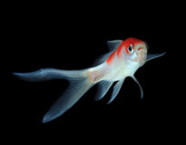 white för fiskguldisolering fotografering för bildbyråer