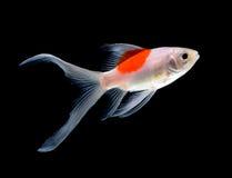 white för fiskguldisolering Royaltyfri Foto