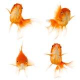 white för fiskguldisolering Arkivfoton