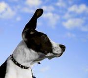 white för framsida s för svart hund Arkivbilder