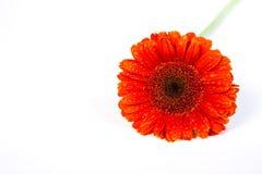 white för gerber för 2 bakgrund orange Arkivbild
