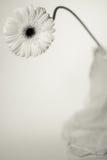 white för gerbera en Arkivfoto