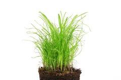 white för gräs för bakgrund 3d isolerad bild Fotografering för Bildbyråer