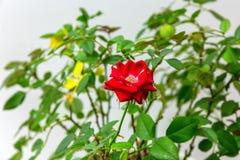 white för grön för isolering för bakgrundsdof grund för leaves rose för red royaltyfri fotografi