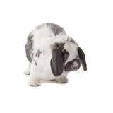 white för höger sida för kanin för gullig facing för kanin grå royaltyfria bilder