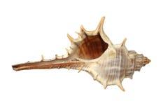 white för hav för cephalopodmussla soffa isolerad Royaltyfri Foto