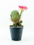 white för kruka för bakgrundskaktus blomma isolerad rosa bakgrund isolerad white Arkivfoton