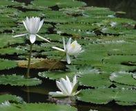 white för liljar tre Arkivfoton