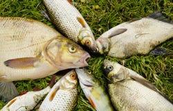 white för mört för perch för gräs för breamlåsfisk Arkivbild