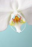 white för malorchidphalaenopsis Arkivbild