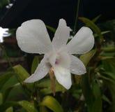 white för orchid för klimatblomma växande tropisk Royaltyfri Bild