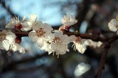 white för persika för bakgrundsfilial blomning isolerad Arkivfoton