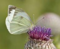 white för pieris för brassicaefjäril stor Arkivfoto