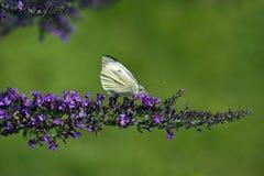 white för pieris för brassicaefjäril stor Arkivfoton