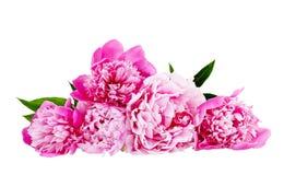 white för pink för pion för bakgrundsdof-isolering grund Fotografering för Bildbyråer