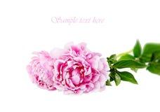 white för pink för pion för bakgrundsdof-isolering grund Royaltyfri Fotografi