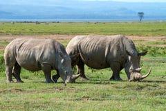 white för rhinos två Arkivbilder