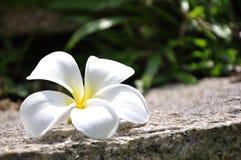 white för rock för plumeria för blommagräsgreen Arkivbild