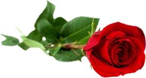 white för rose för bakgrundsblommared Royaltyfria Foton