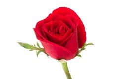 white för rose för bakgrundsblommared Royaltyfria Bilder