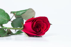 white för rose för bakgrundsblommared Royaltyfri Fotografi