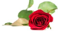 white för rose för bakgrundsblommared Arkivbild