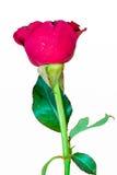 white för rose för bakgrundsblommared Fotografering för Bildbyråer