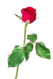 white för rose för bakgrundsblommared Arkivbilder