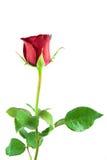 white för rose för bakgrundsblommared Arkivfoto