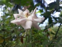 white för rose stamens för pistil för foto för blommamakropetals super royaltyfri bild