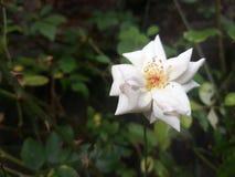 white för rose stamens för pistil för foto för blommamakropetals super fotografering för bildbyråer