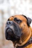 white för sikt för sida för stående för mastiff för bakgrundshund engelsk Royaltyfri Fotografi