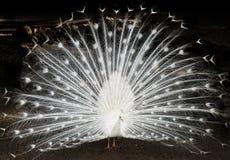 white för slags påfågel för fåglar sällan arkivbild