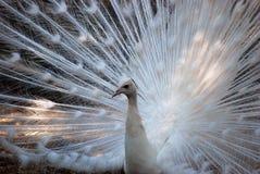 white för slags påfågel för fåglar sällan Arkivbilder