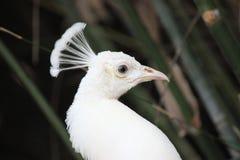 white för slags påfågel för fåglar sällan Royaltyfri Foto