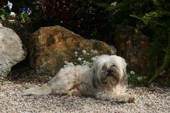 white för smutsig hund Royaltyfria Foton