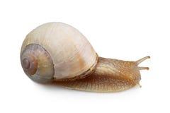 white för snail för bakgrundsframdelträdgård Arkivbilder