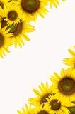 white för solros för bakgrundskopieringsavstånd Royaltyfri Bild