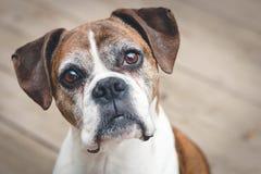 white för stående för bakgrundsboxarehund gammal Royaltyfri Foto