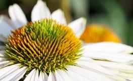 white för stamen för plan grön makro för tusensköna orange Arkivfoton