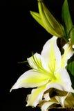 white för stiga avliljasolsken Royaltyfria Foton
