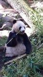 white för stil för panda för illustration för bakgrundsbjörntecknad film Royaltyfri Fotografi