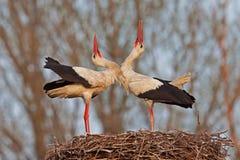 white för storks två Royaltyfri Fotografi