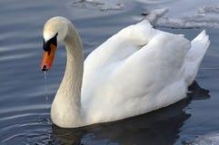 white för stum swan Arkivfoto