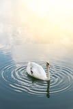 white för stum swan arkivfoton