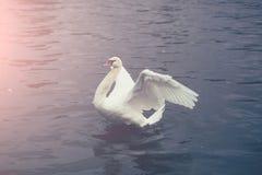 white för stum swan Royaltyfri Fotografi