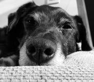 white för svart hund Arkivbild
