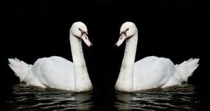 white för svart swan för bakgrund tvilling- arkivbild