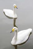 white för swan två Royaltyfria Bilder