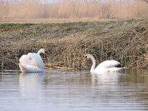 white för swans två Royaltyfria Foton